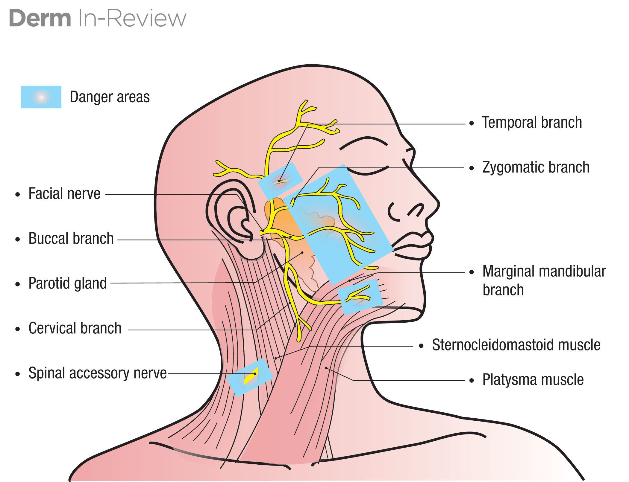 Facial nerve (CN7) branches and danger zones.